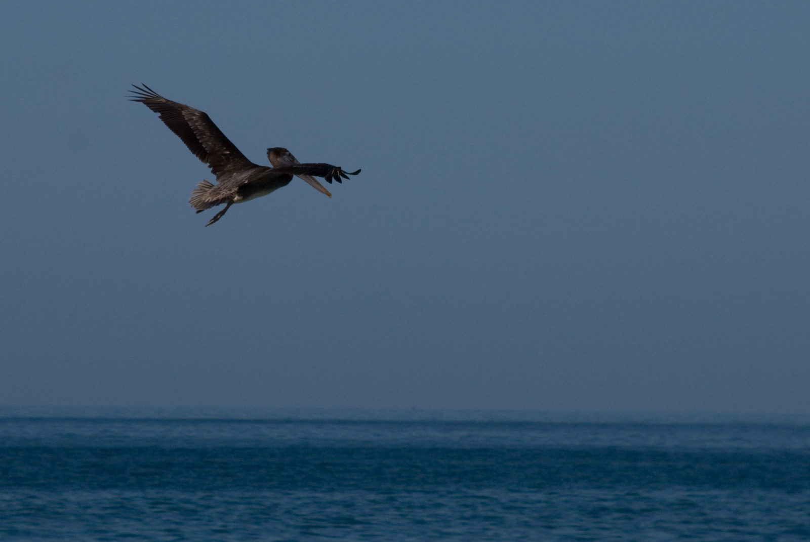 DSC_2124.jpg - Pelican in flight